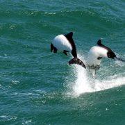 dauphins de Commerson