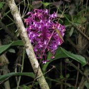 orchidée wiñay wayna