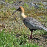 ibis à tête noire, lac argentino