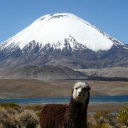 Alpaga, la Chungara et  volcan Parinacota