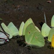 papillons en Amazonie péruvienne