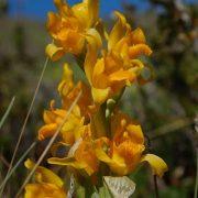 orchidée de Patagonie, chloraea alpina