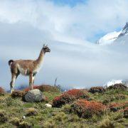 guanaco, Patagonie